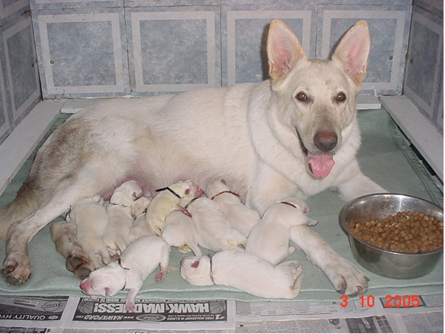 Chloe, the proud mum, with her new litter of 10 at one day old...