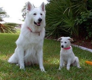 Dakota and her housemate, Cody, a longcoat White Shepherd from Germany