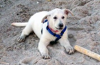 Dakota on the gulf coast of Florida beach, where her and her family are frequently found...  11 weeks old
